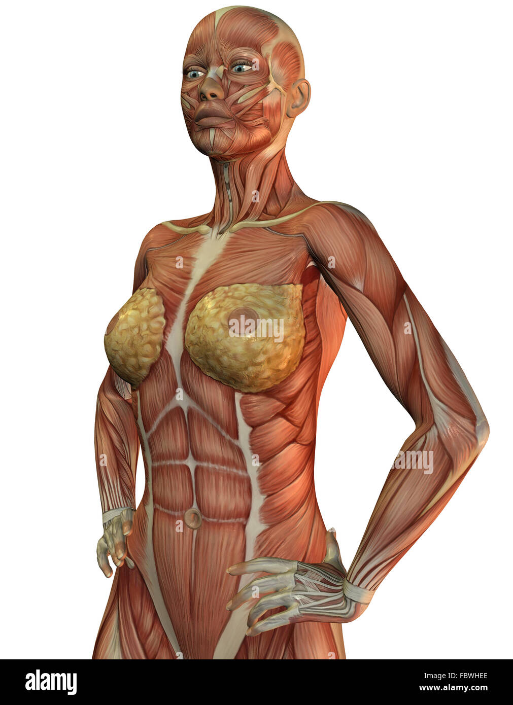 Building Muscle Tissue Stock Photos & Building Muscle Tissue Stock ...