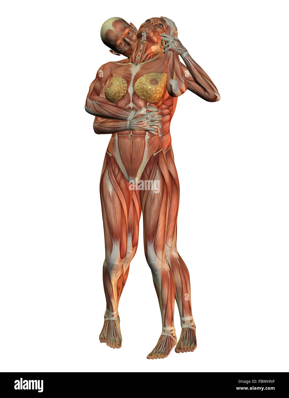 Anatomy and muscle structure Stock Photo: 93375787 - Alamy