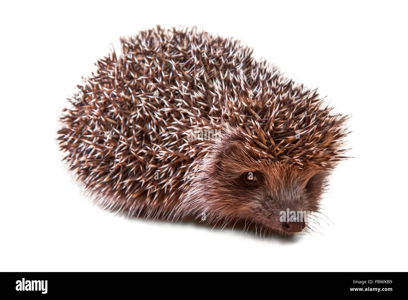 Cute young hedgehog - porcupine on white - Stock Image