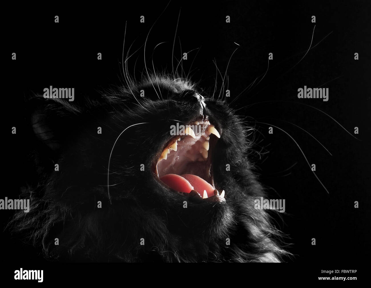 black persian cat on black background - Stock Image