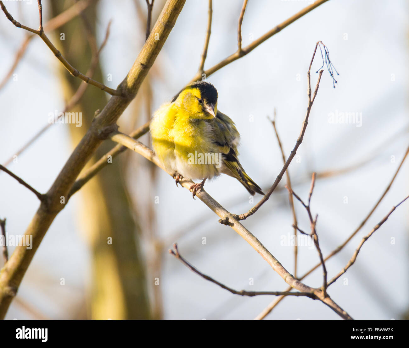 Black-headed Goldfinch (Carduelis spinus) sitting on a branch. Stock Photo