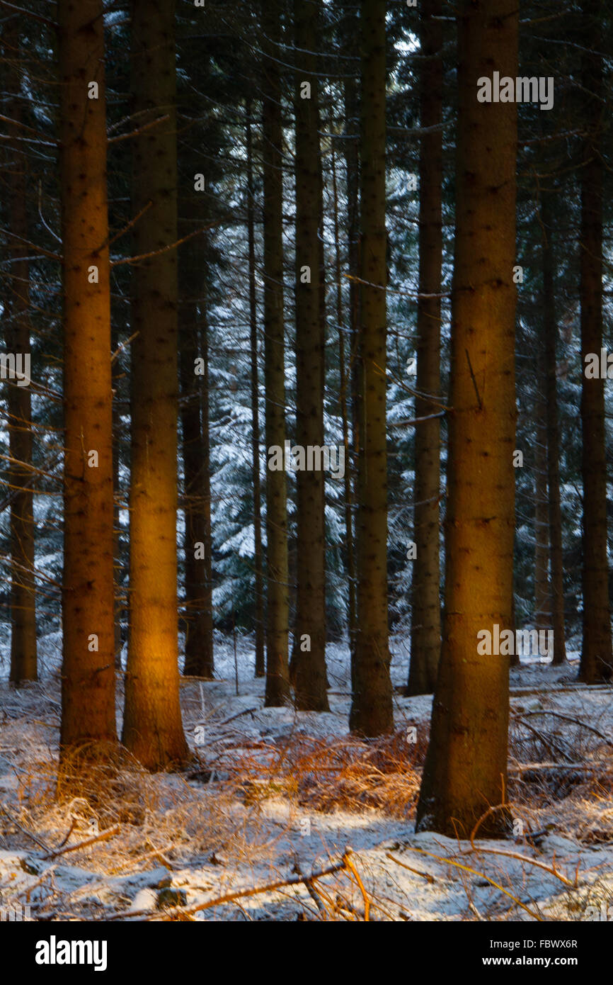 Last sunrays lighten up tree stems in a pine forest in winter - Stock Image
