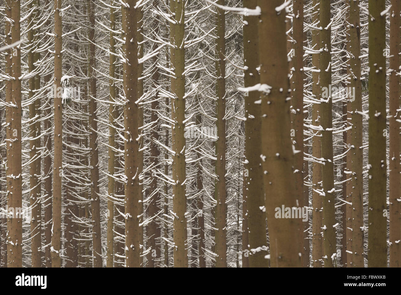 snow spruces forest - Stock Image