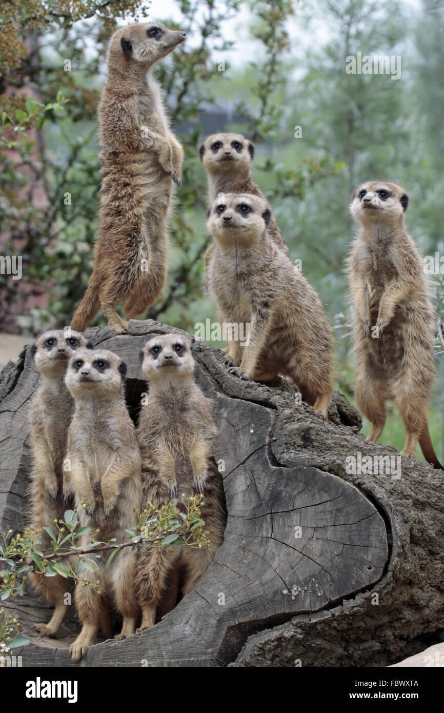 Meerkat 015 - Stock Image