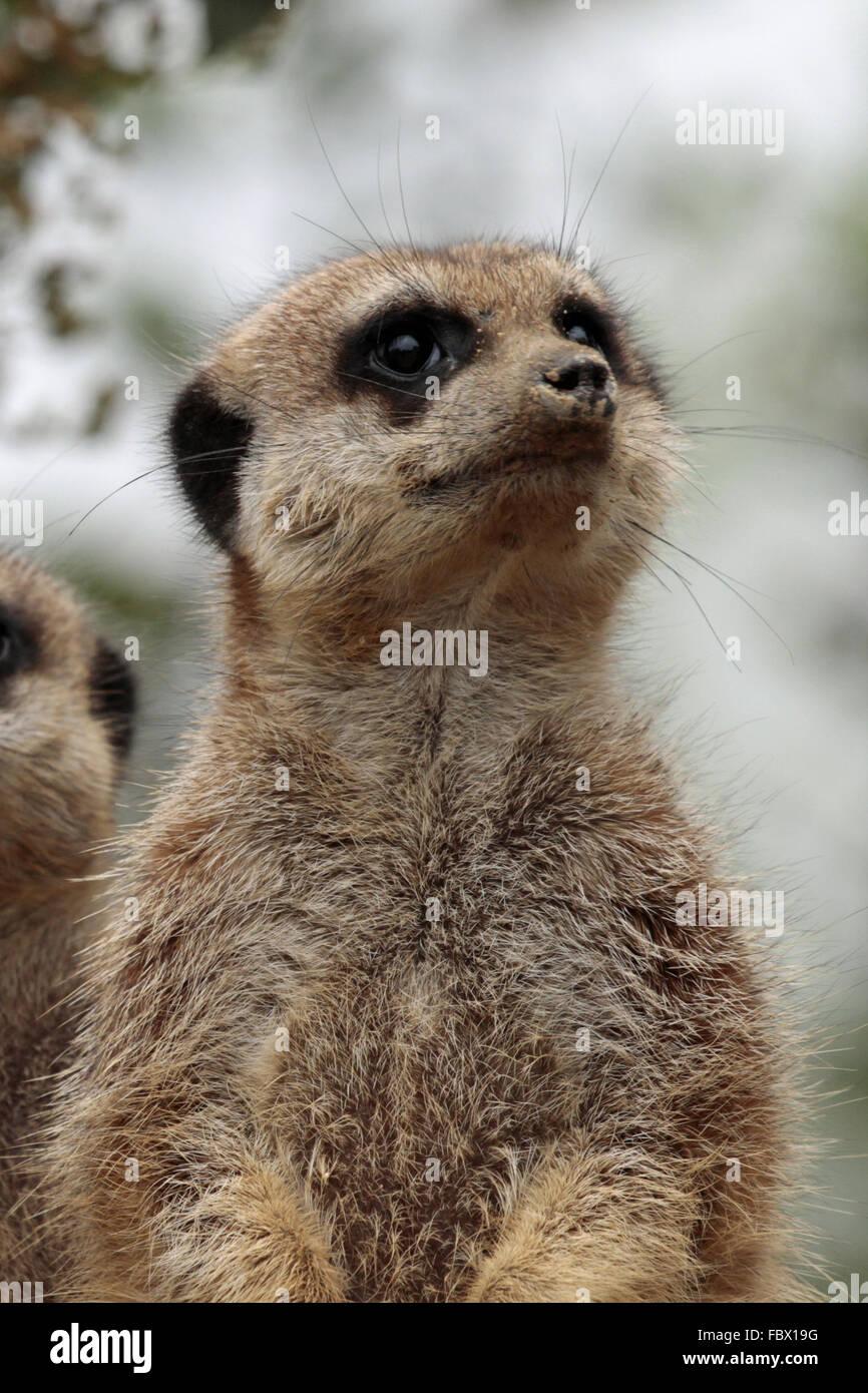 Meerkat 032 - Stock Image