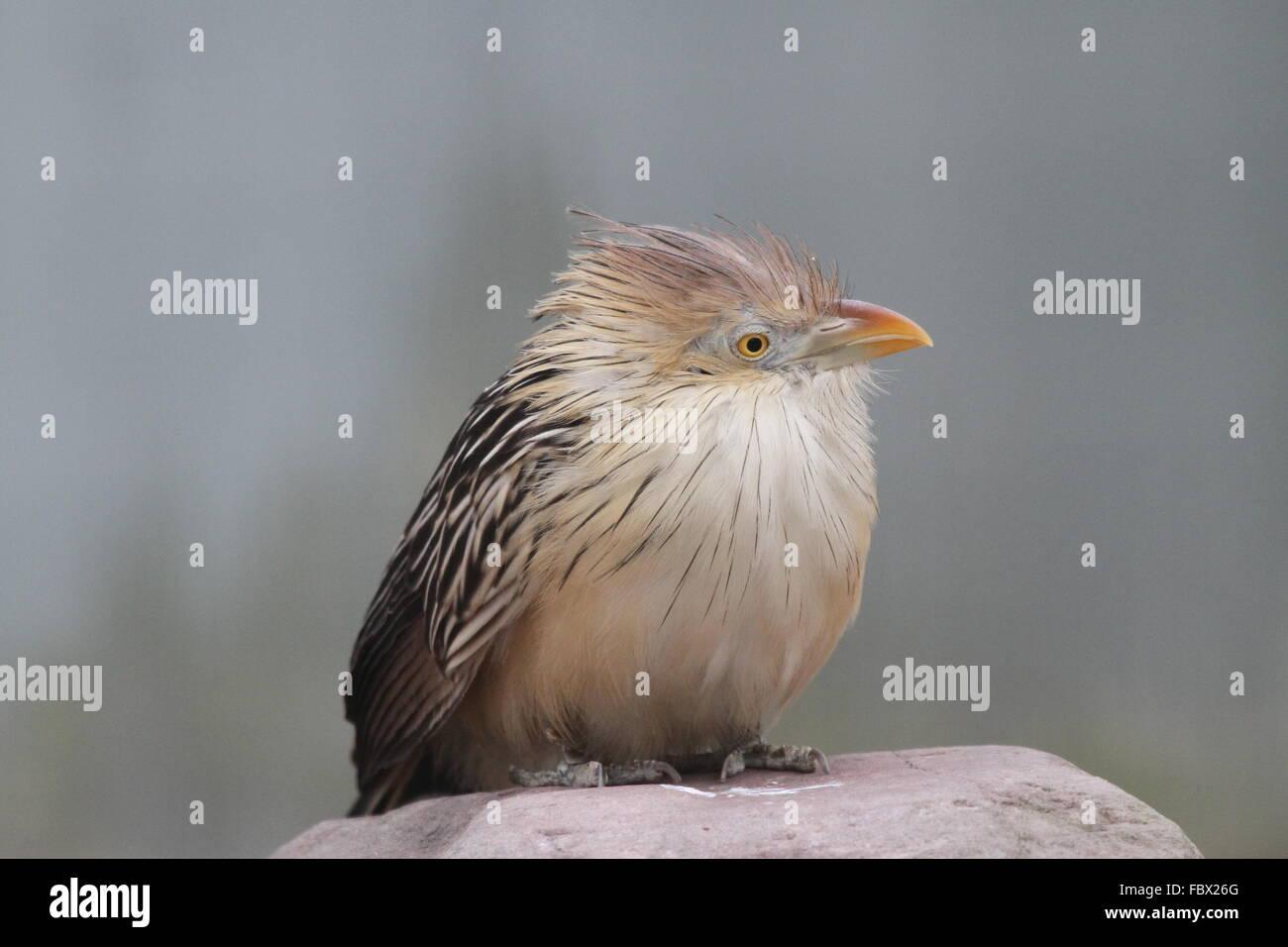 Guira Cuckoo 001 - Stock Image