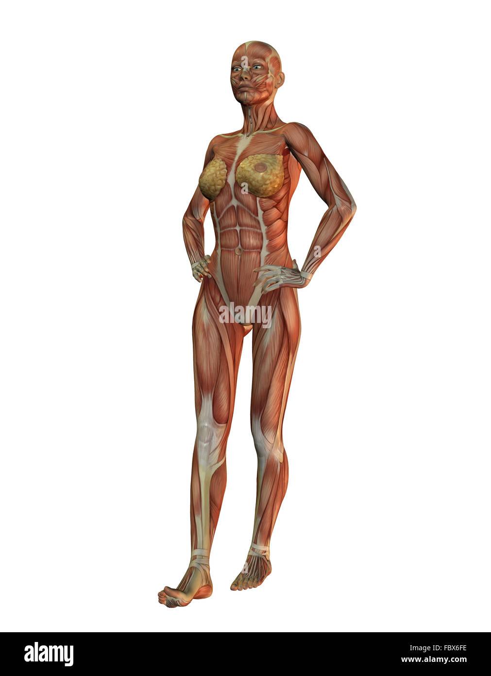 Female Chest Anatomy Stock Photos & Female Chest Anatomy Stock ...