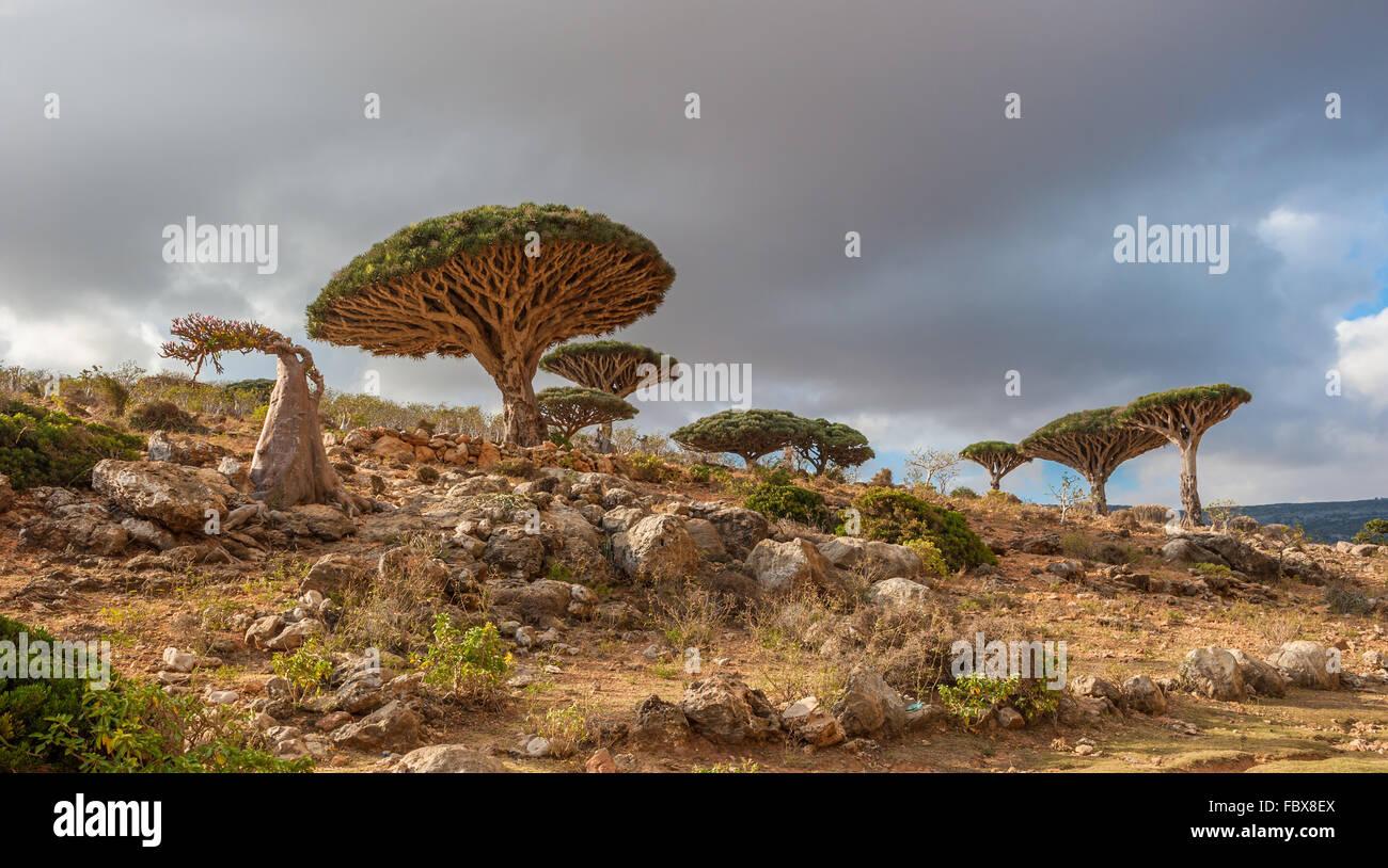 Dragon trees at Dixam plateau, Socotra Island, Yemen - Stock Image