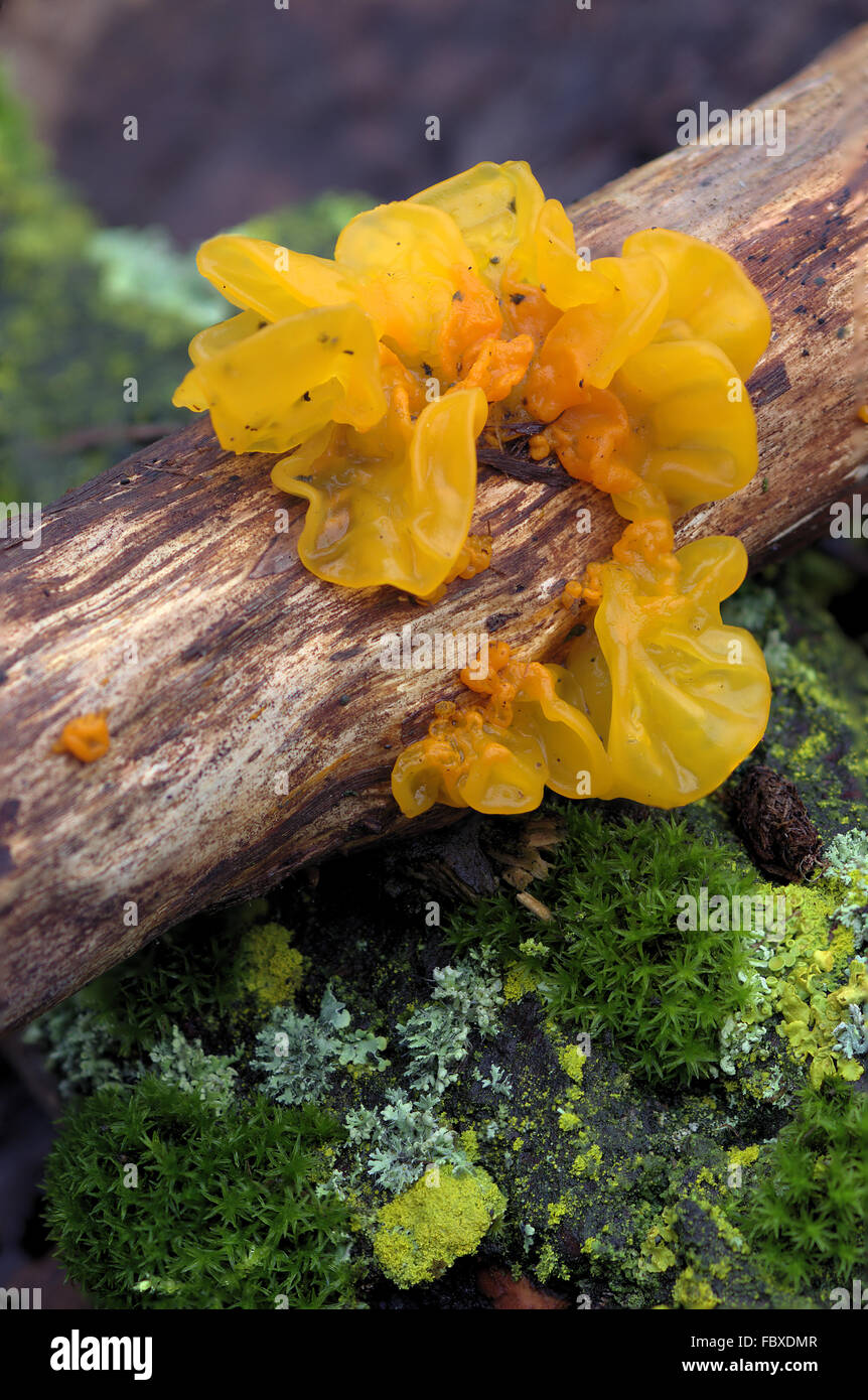 Golden gelly fungus on wood - Stock Image