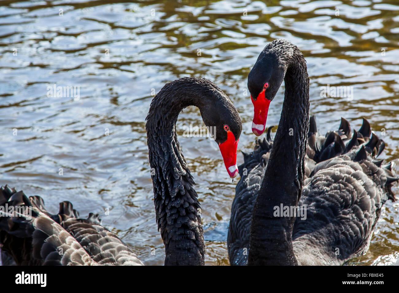 A pair of Black swan Cygnus atratus on Dawlish Brook at Dawlish, Devon, England UK - Stock Image