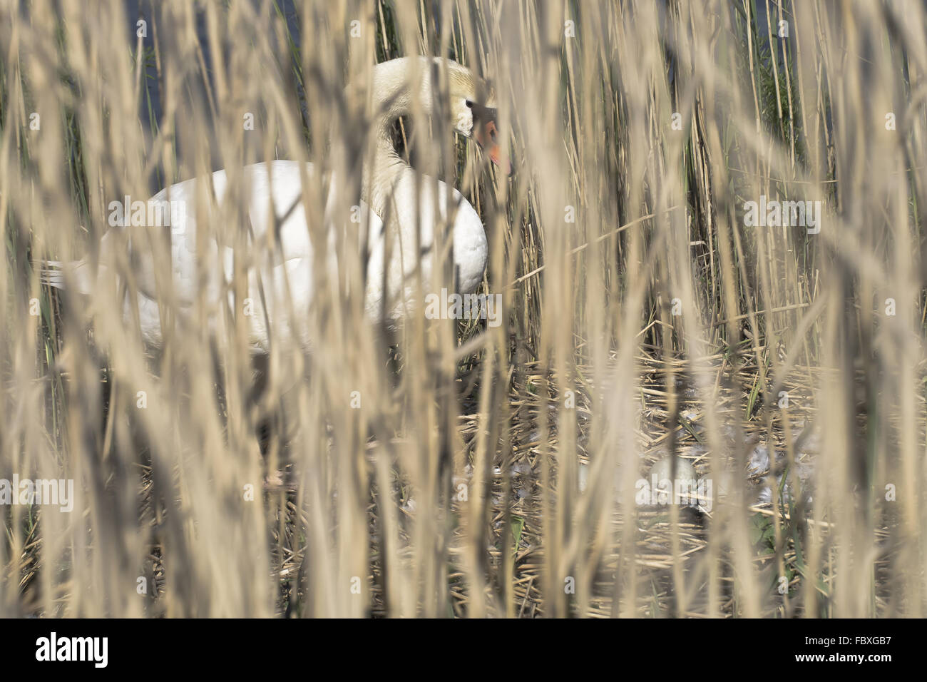 Mute swan in the reep Stock Photo