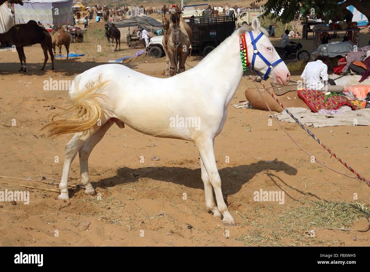 white stallion at Pushkar Camel Fair - Stock Image