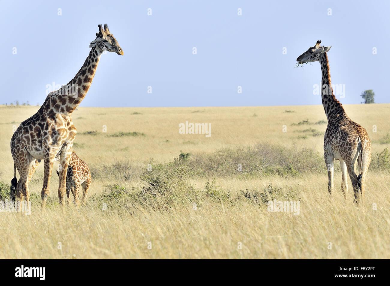 Giraffes in Masai Mara - Stock Image