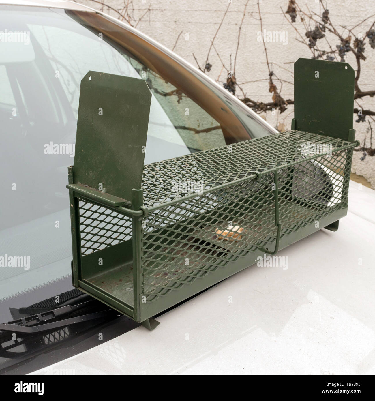 Human-wildlife conflict. Marten trap with bacon bait on car hood (it is appropriate for weasel, rat, mouse, or other - Stock Image