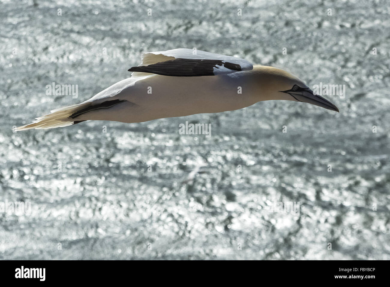 High-wing bird - Stock Image