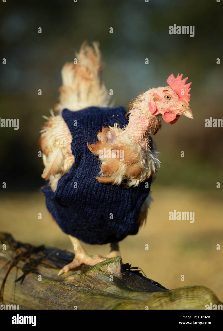 Ex battery hens with knitted woollen jumpers - Stock Image