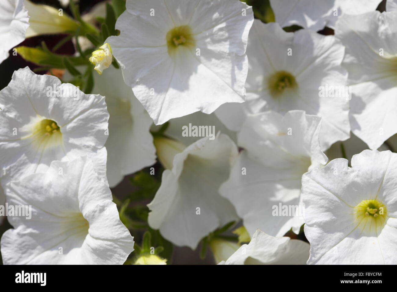 White Petunia Flower Plants In The Garden Stock Photo 93415608 Alamy