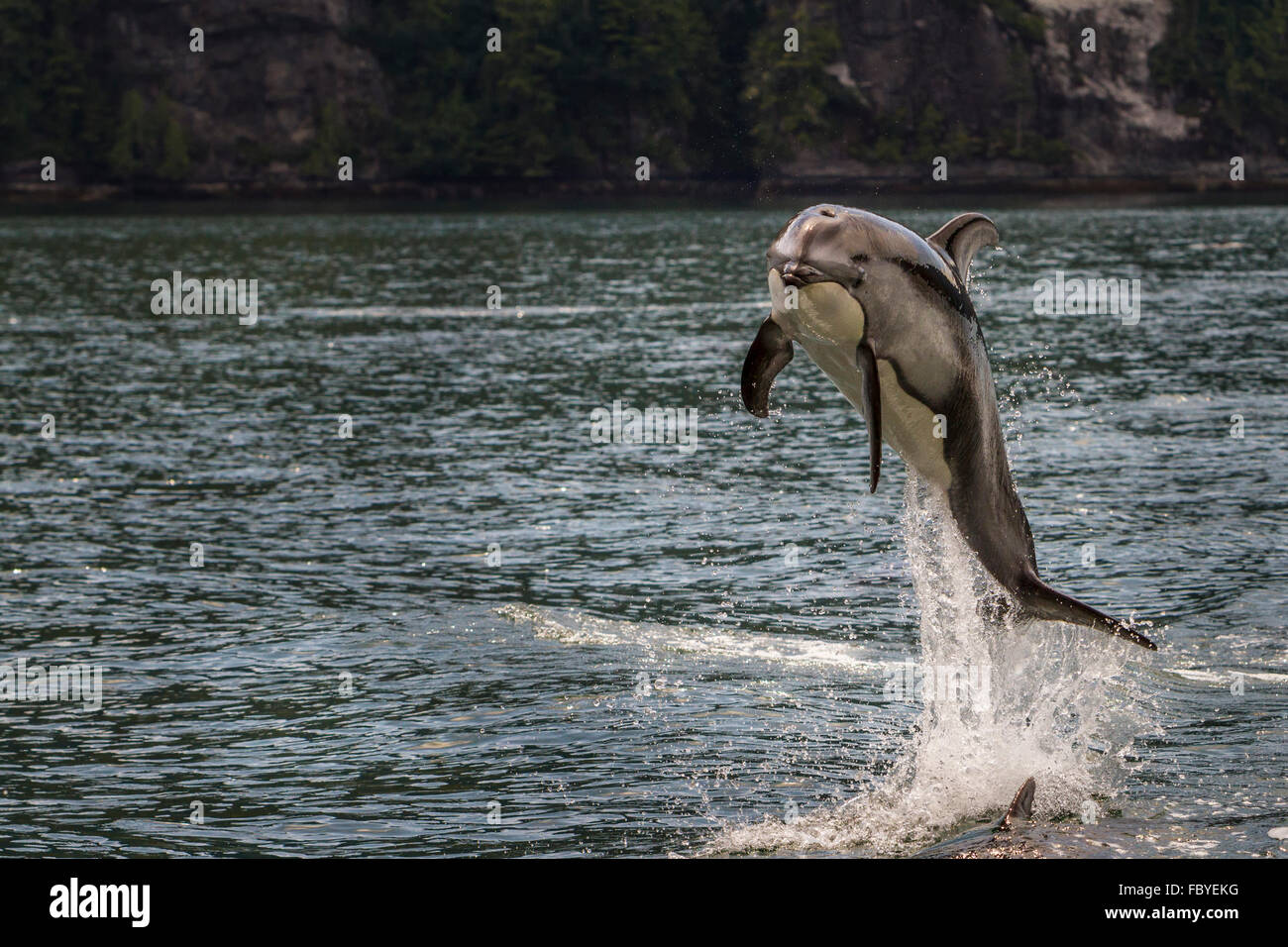 Pacific White Sided Dolphin (Lagenorhynchus obliquidens) jumping - Stock Image