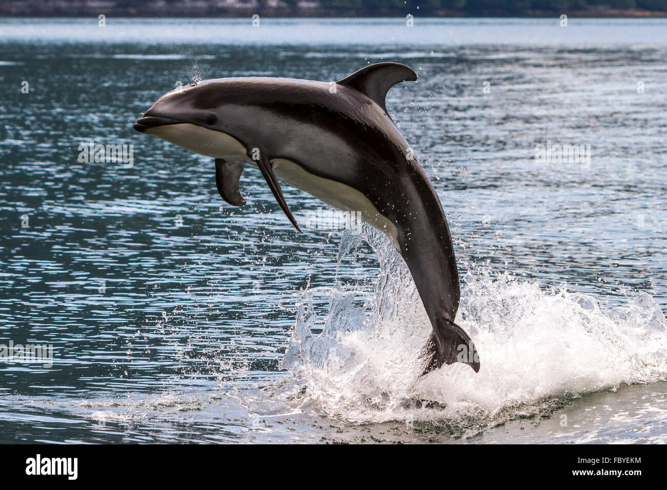 Pacific White Sided Dolphin (Lagenorhynchus obliquidens) jumping in Broughton Archipelago Marine Park in British - Stock Image