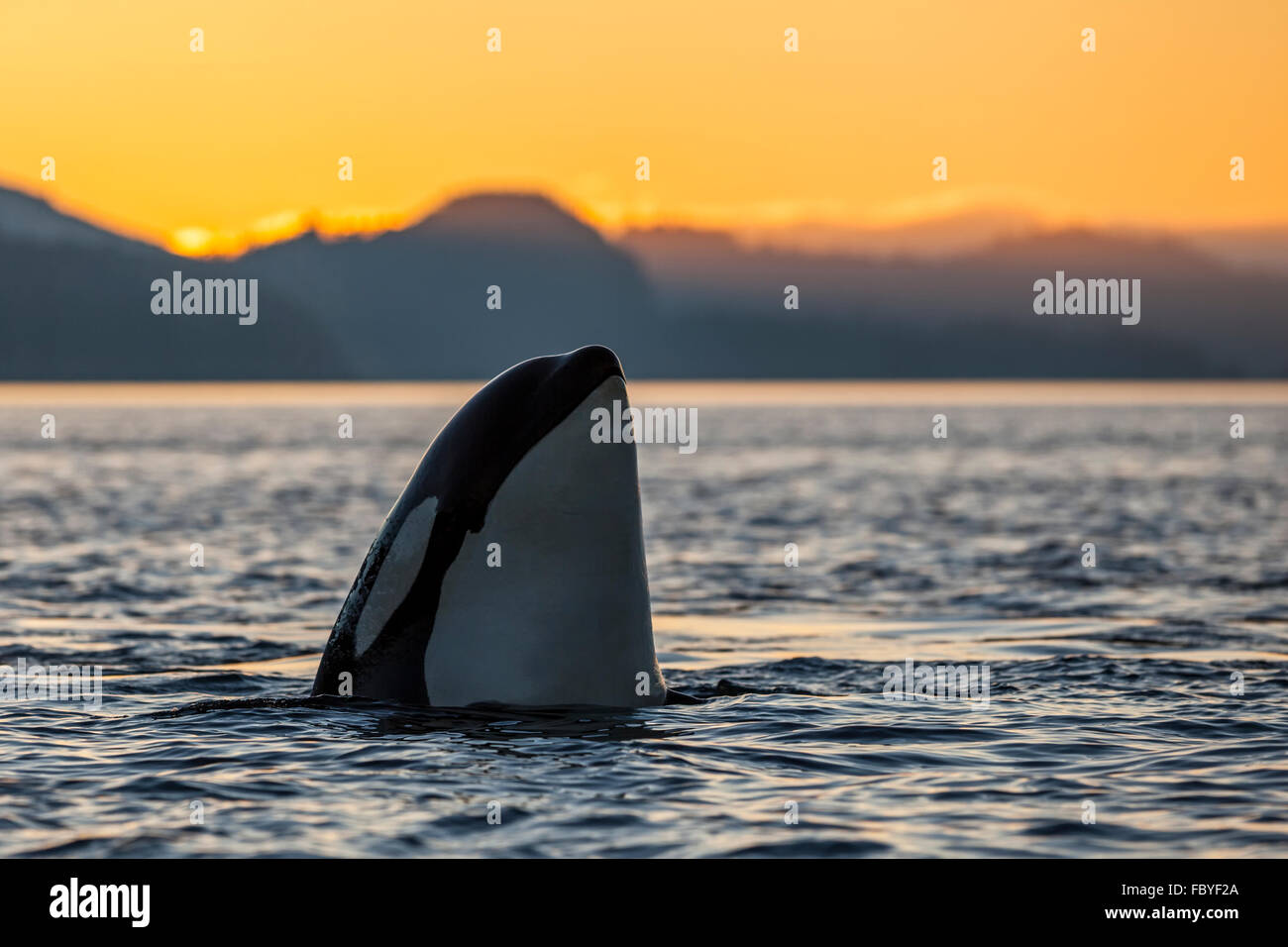 Resident Killer whale (Orcinus orca) spyhopping during sunset in Johnstone Strait, British Columbia, Canada. - Stock Image
