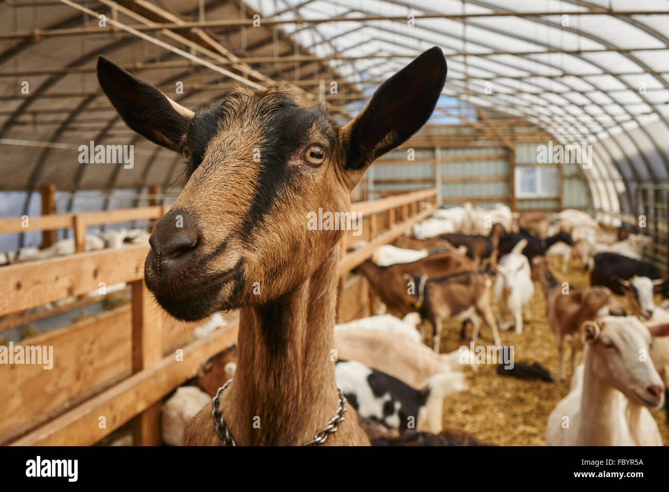 goats at Misty Creek Dairy in Leola, Lancaster County Pennsylvania - Stock Image