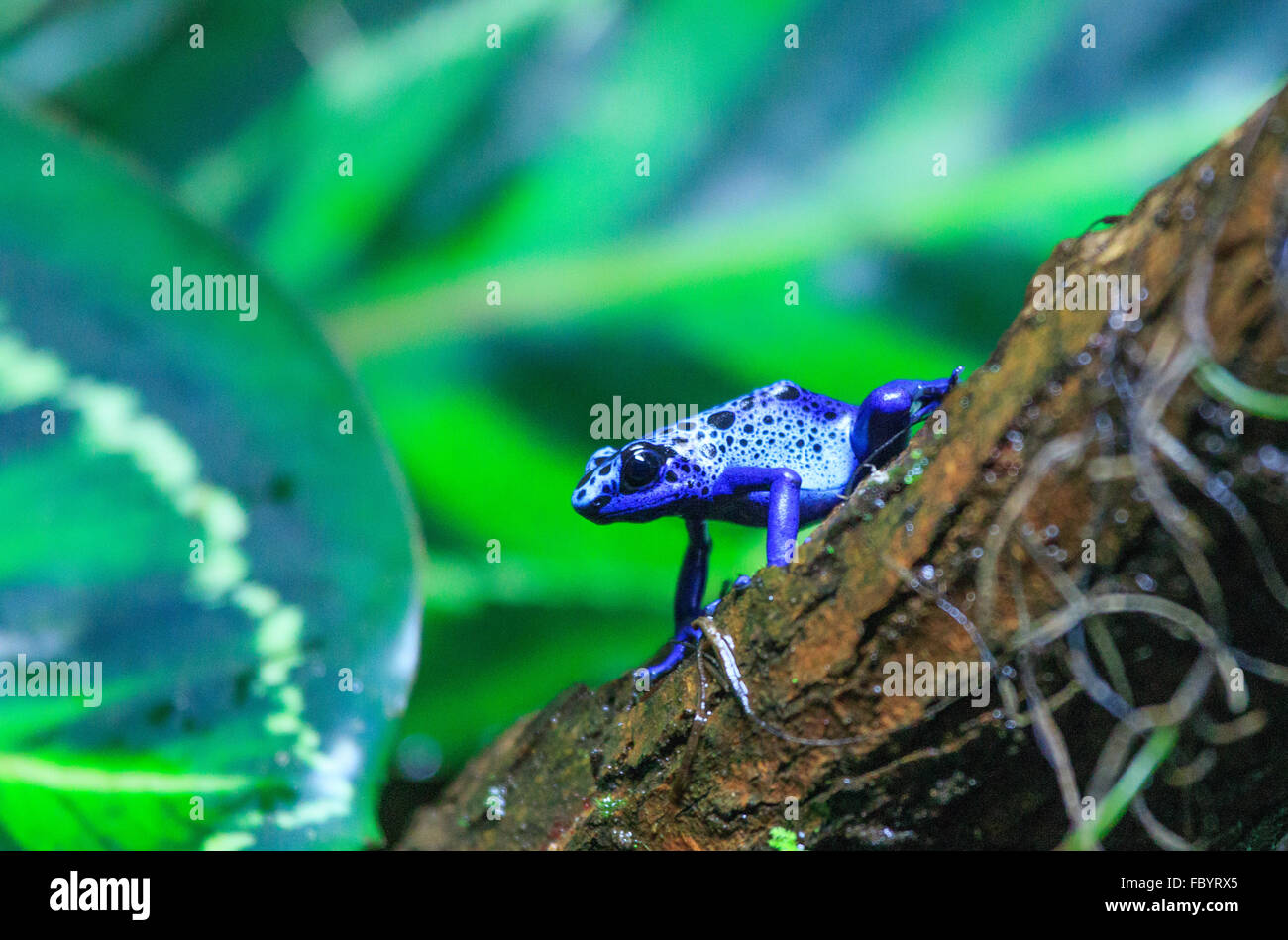 Blue spotted tree frog Stock Photo