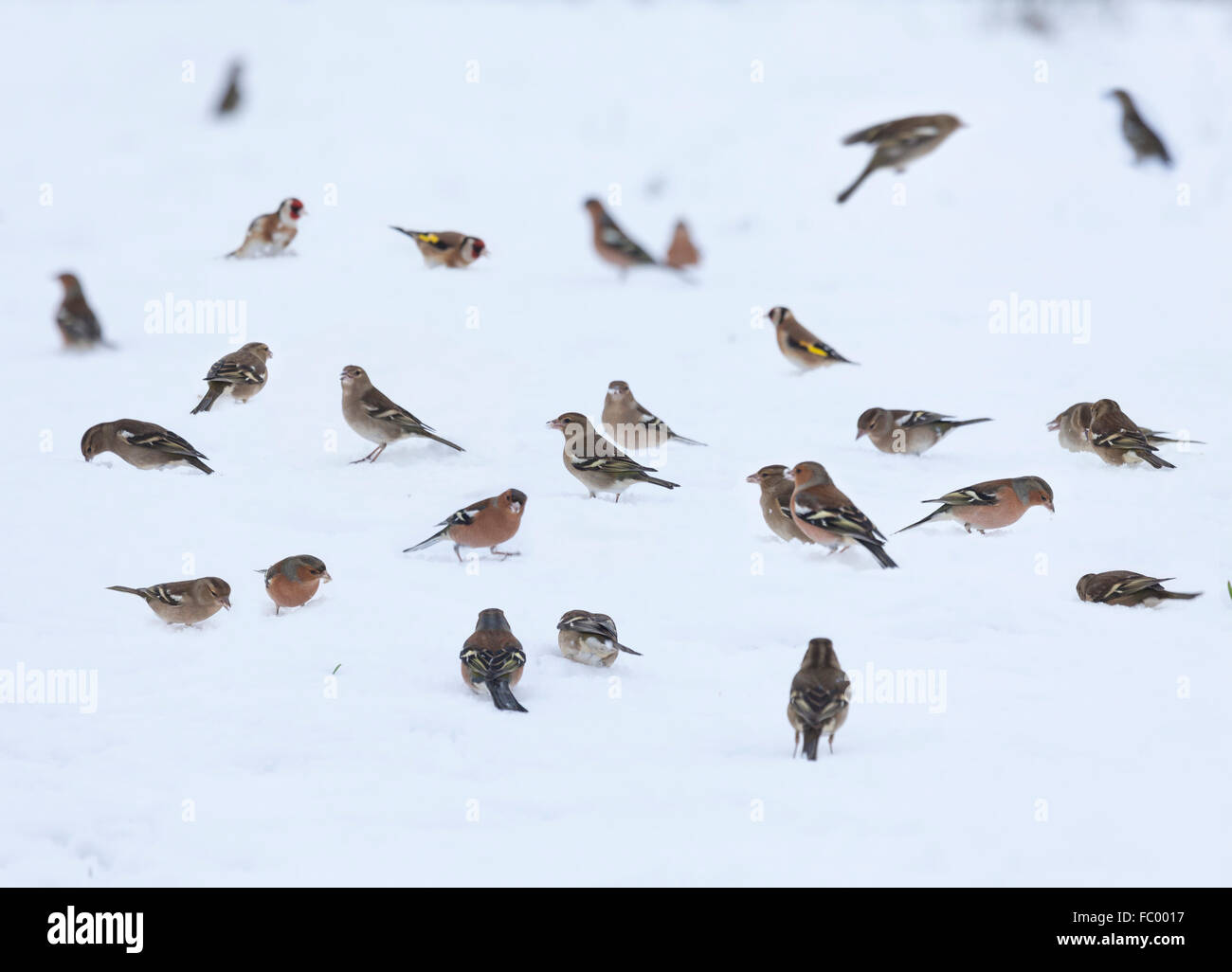 Flock of finches, mainly Chaffinches with a few Goldfinches, looking for food on thick snow in winter. Scotland, - Stock Image