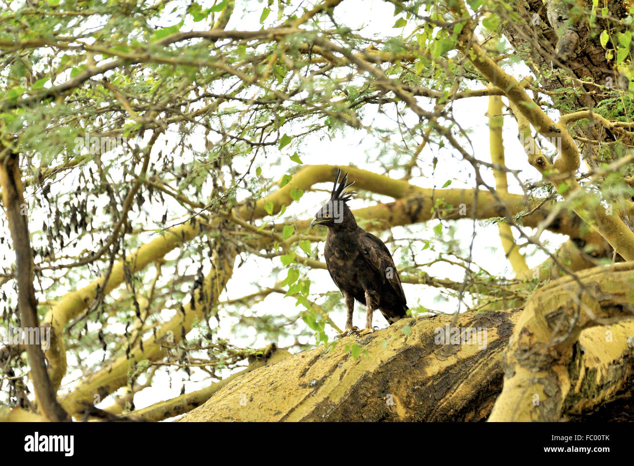 Long-Crested Eagle with its funny plumes - Stock Image