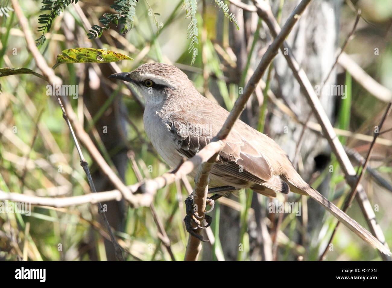 Chalk-browed mockingbird Stock Photo