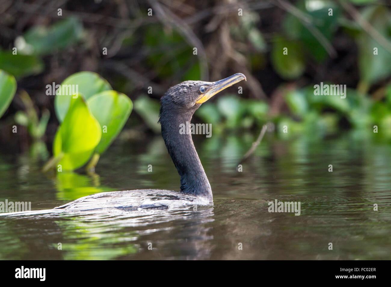 Neotropic cormorant - Stock Image