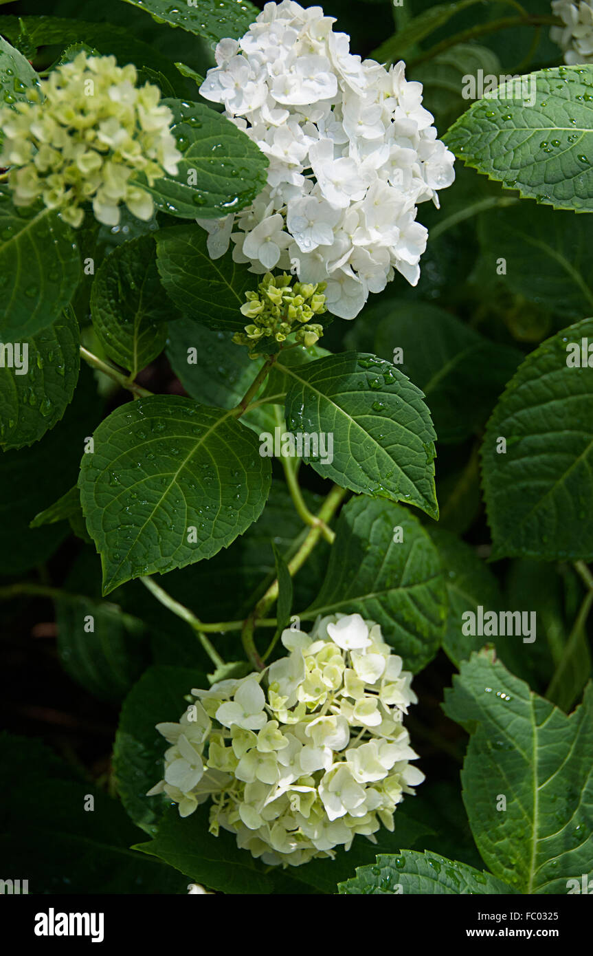 White Hydrangeas - Stock Image
