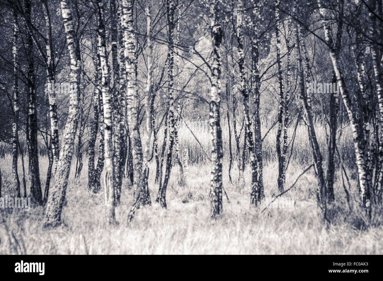 Birch trees in a moor. Stock Photo