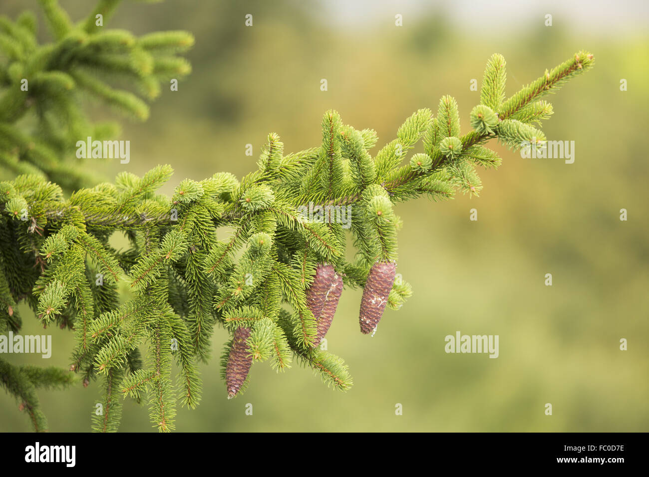 spruce, Picea abies - Stock Image