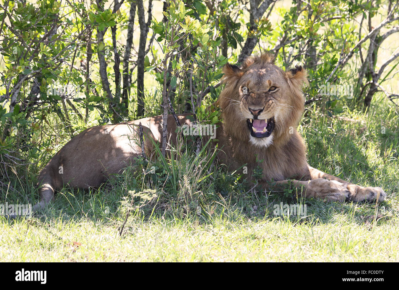 angry lion - Stock Image