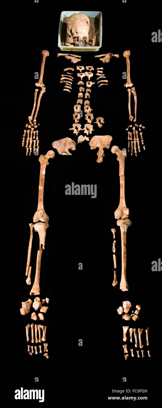 Nearly complete hominid skeleton in a physical anthropology study. © Reynold Sumayku - Stock Image