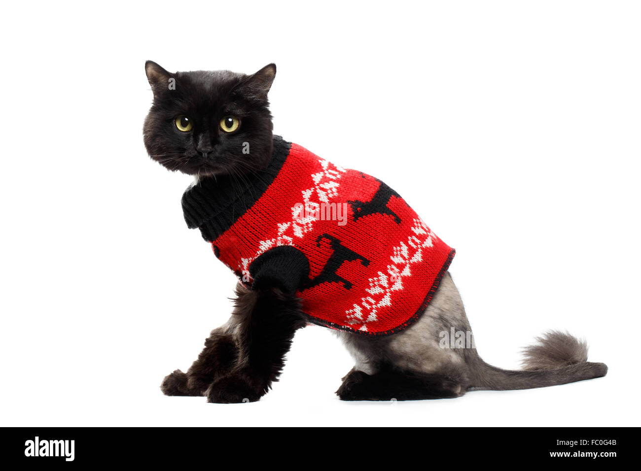 black cat wearing in a red Christmas cardigan - Stock Image