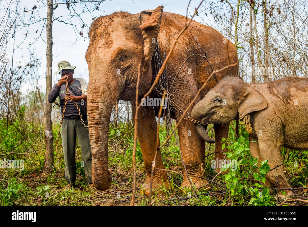 A mahout pairing adult Sumatran elephant with its baby for a walk in Way Kambas National Park, Indonesia. © - Stock Image