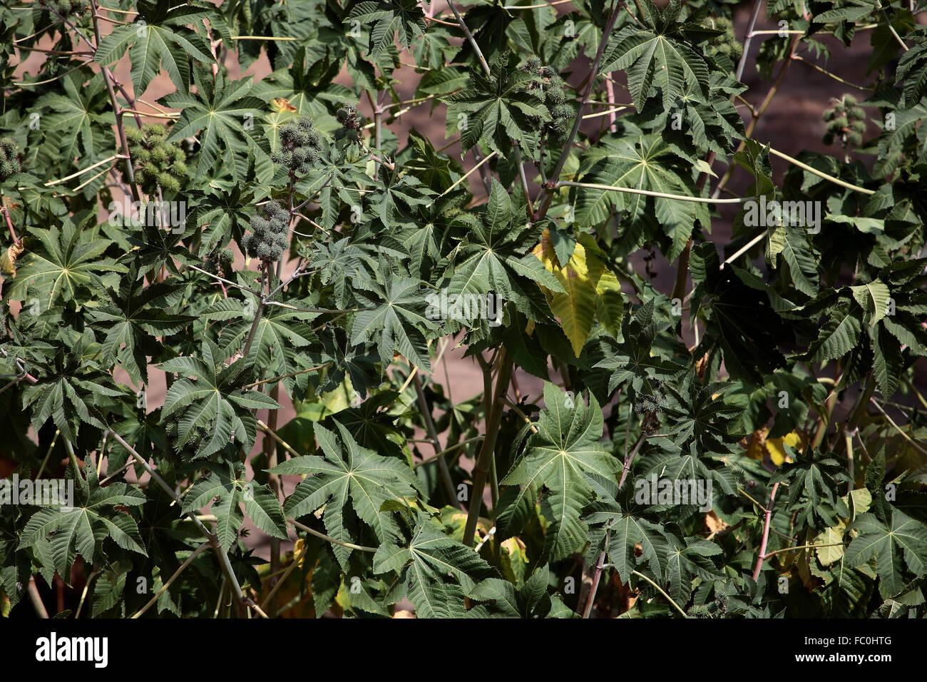 Rizinus Busch in Ostafrika - Stock Image