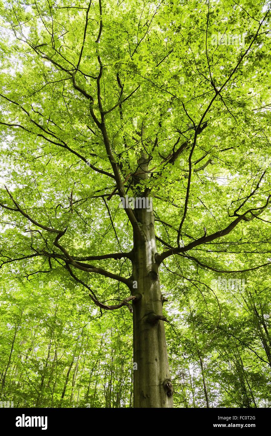 beech tree - Stock Image