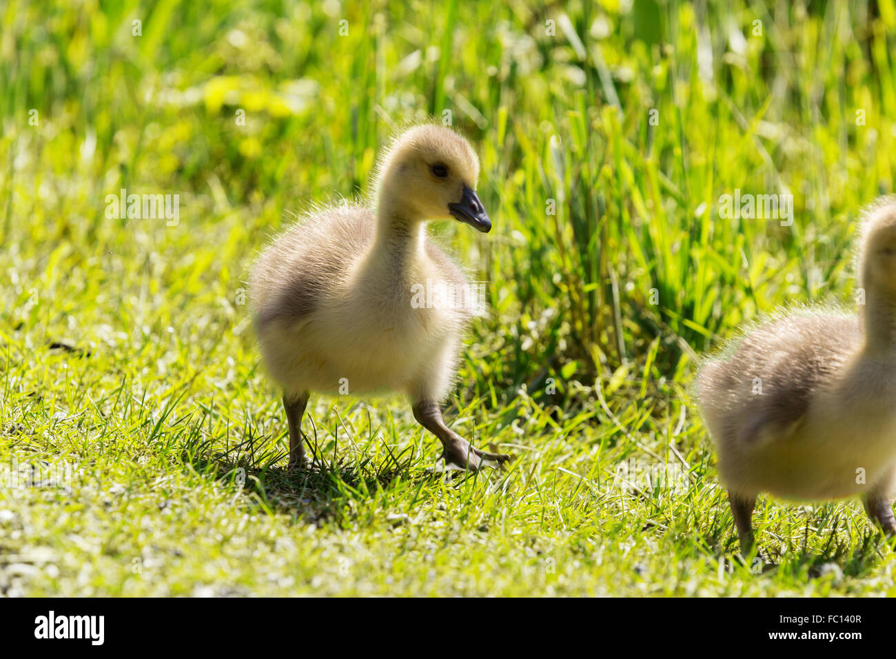 two goose fledglings on a meadow - Stock Image