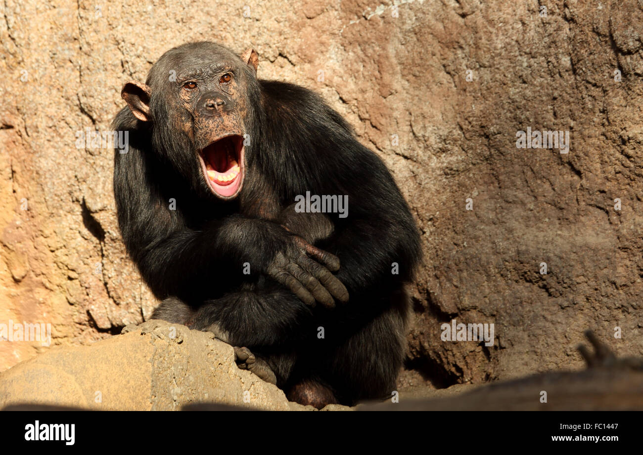 chimpanzees human and family ties Relationships that are recognized between individuals based on family ties among humans, those ties are created by marriage and shared descent from ancestors among non-human primates, they are due to descent.