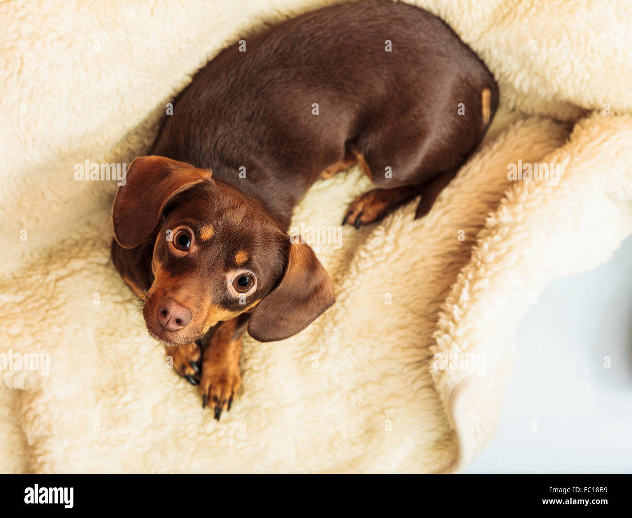 mixed dog relaxing on bed at home Stock Photo