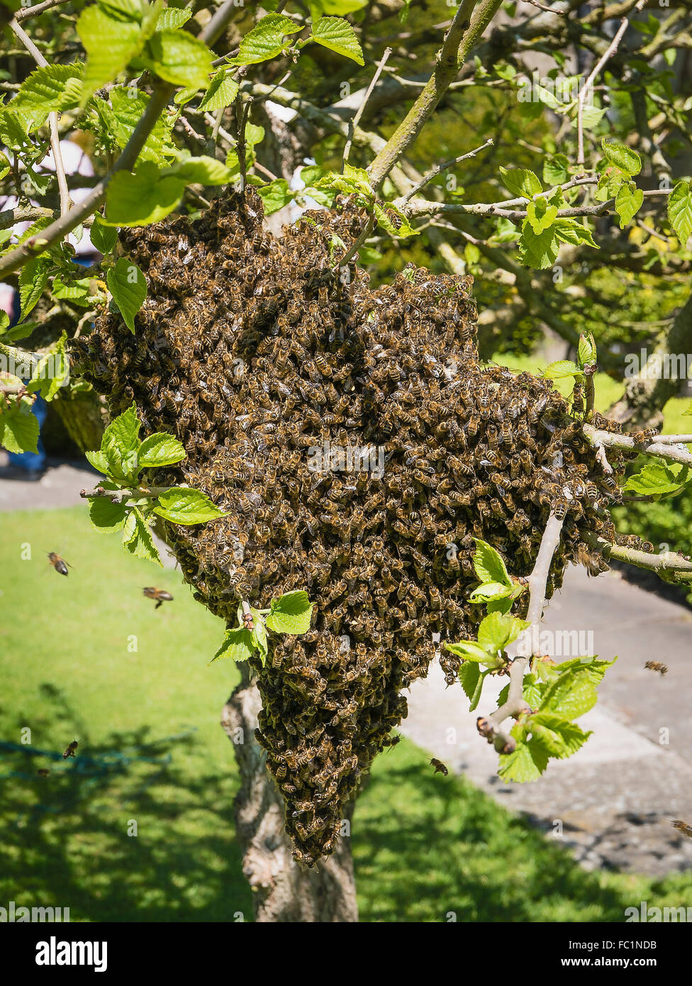 Swarm of bees in a small mulberry tree in Spring - Stock Image