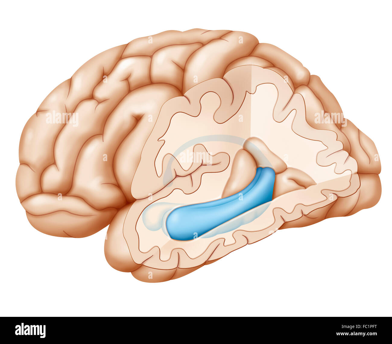 Hippocampus brain drawing stock photos hippocampus brain drawing brain drawing stock image ccuart Gallery