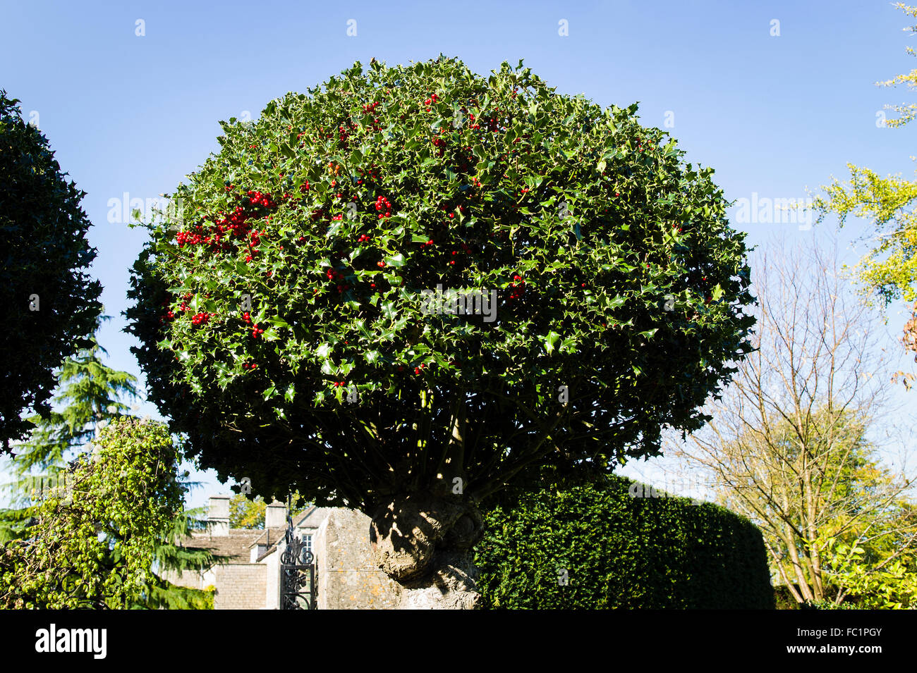 A round berried holly tree in an English garden - Stock Image