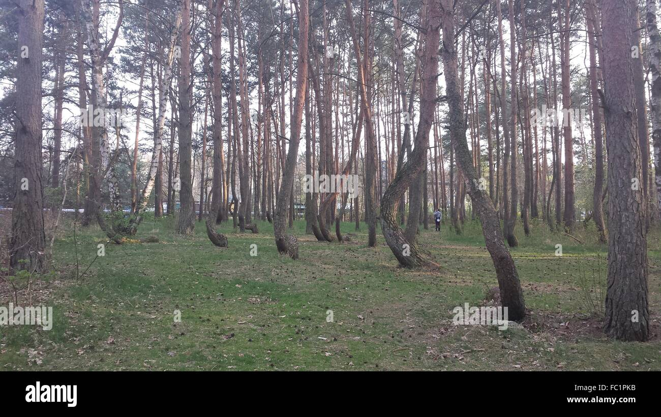 Crooked forest in Poland krzywy las w Polsce - Stock Image