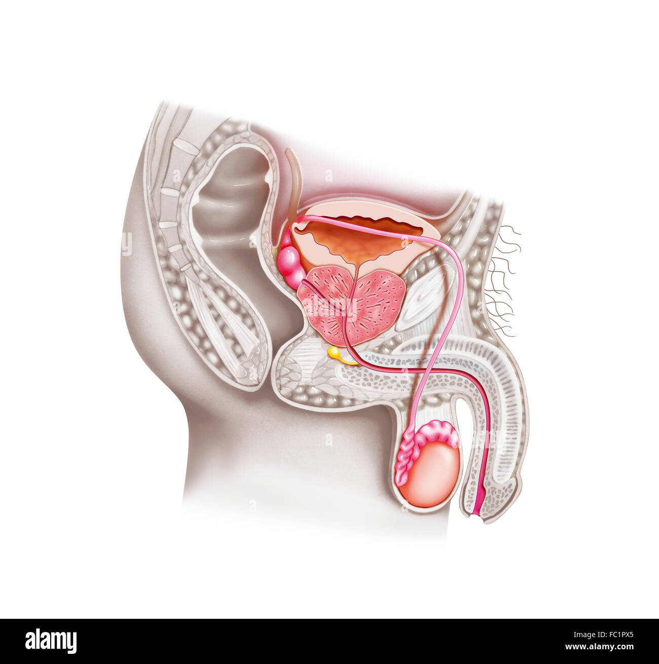 Anatomy Male Genitalia Stock Photos Anatomy Male Genitalia Stock
