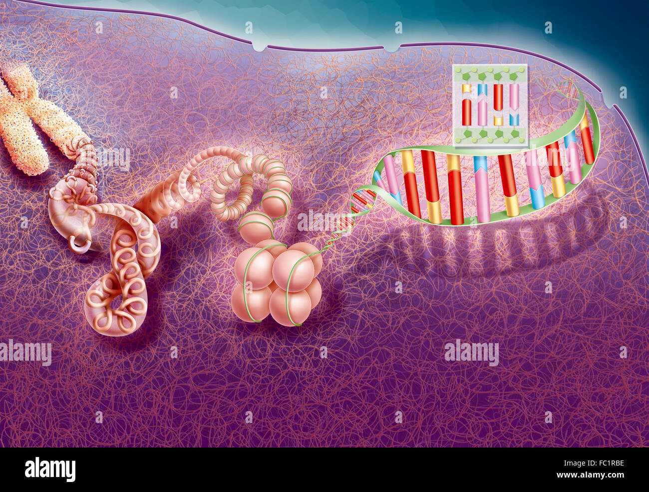 DNA COMPACTION - Stock Image