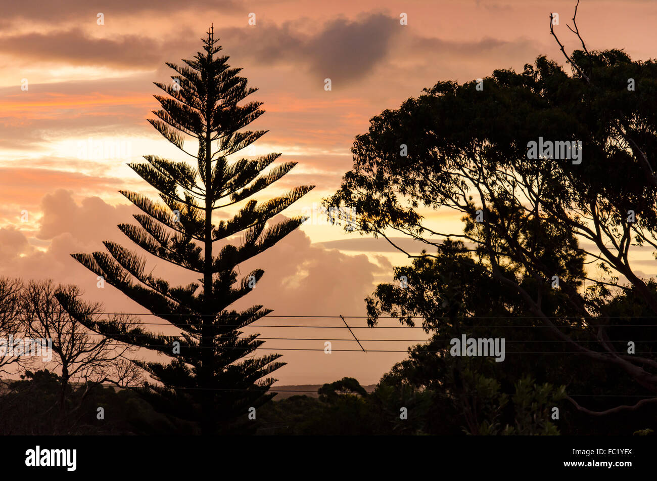 A suburban sunset with a silhouetted pine tree and Eucalypt tree - Stock Image