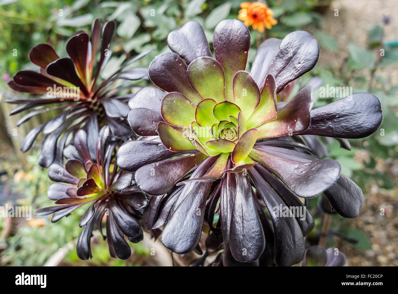 Aeonium Stock Photos& Aeonium Stock Images Alamy
